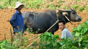 2 men & a water buffalo
