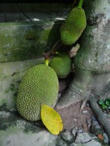 Jackfruit growing on treetrunk